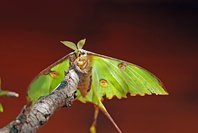 Lepidottero lunare immagini stock