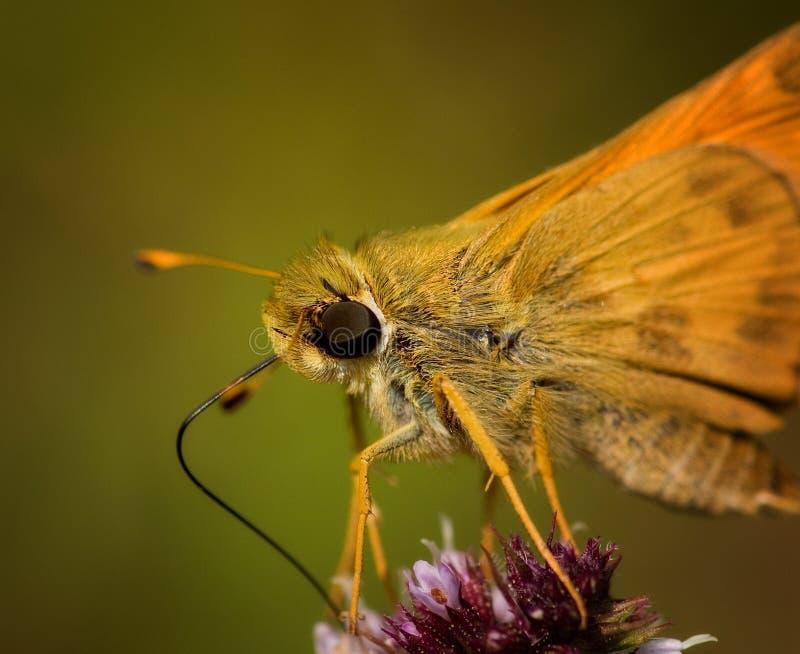 Lepidottero a macroistruzione sul fiore immagine stock