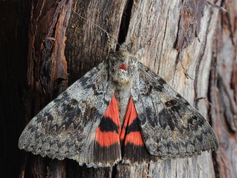 Lepidottero - Underwing & x28 rossi; Nupta& x29 di Catocala; sull'albero fotografia stock