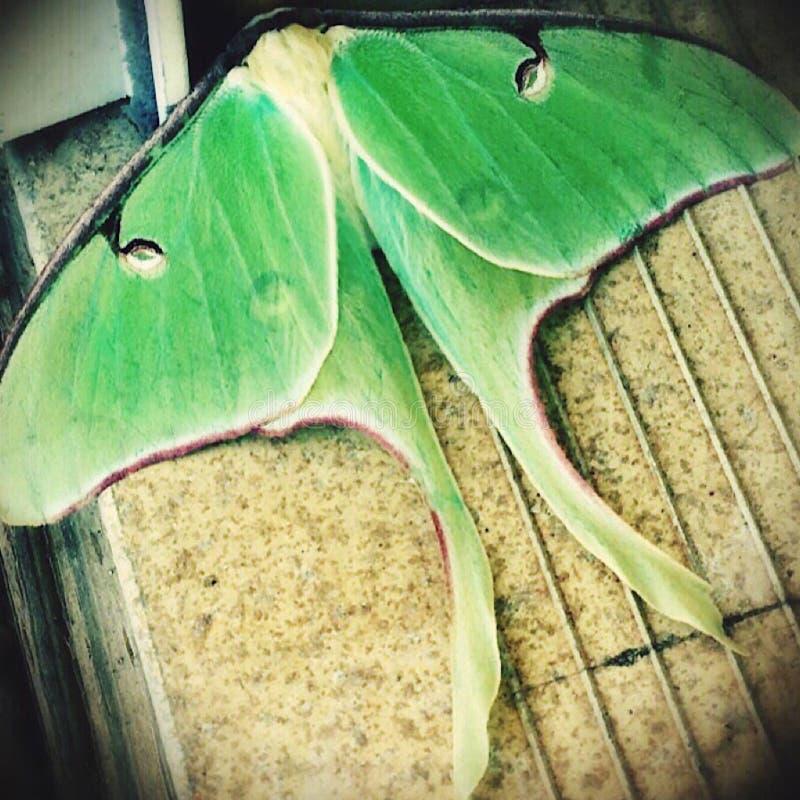 Lepidottero verde fotografia stock