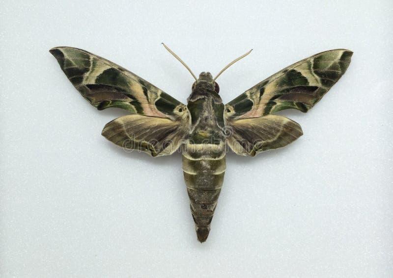 Lepidottero verde dell'esercito fotografia stock