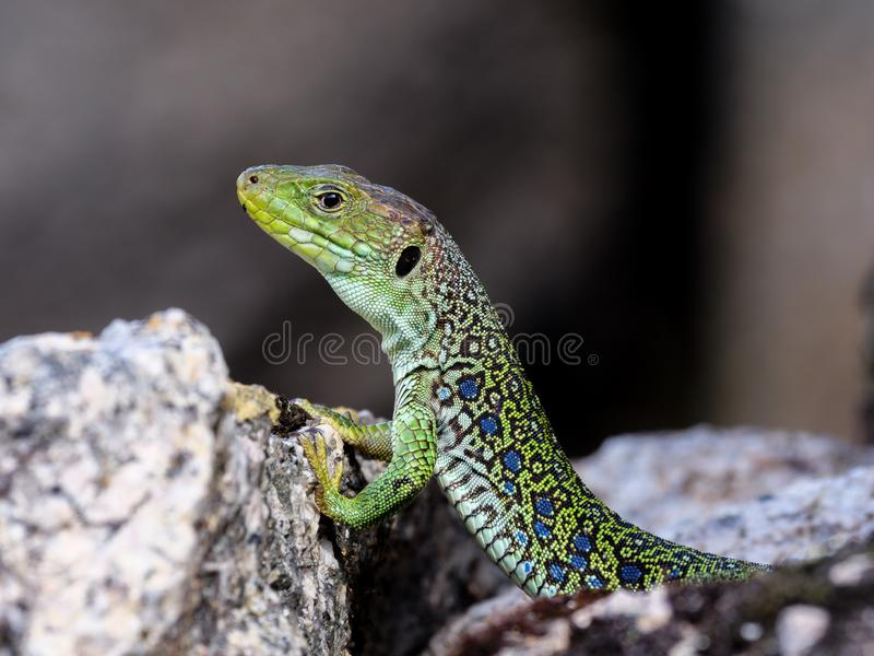 Lepidus Ocellated de Timon de lézard photographie stock libre de droits