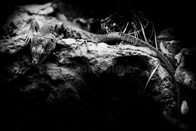 Lepidus van de Jewelledhagedis timon - zwart-witte dierenportretten stock afbeeldingen