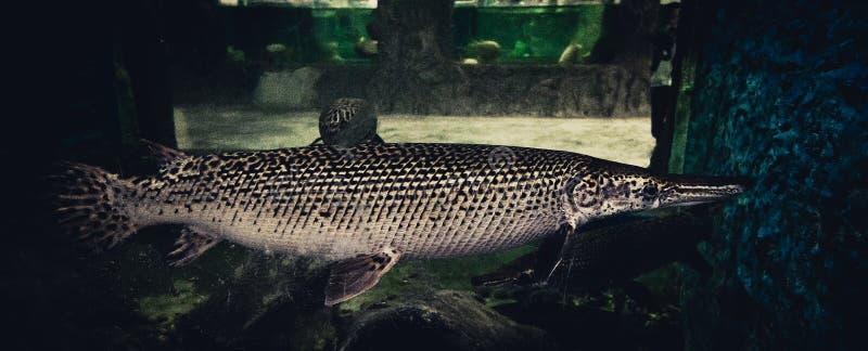 Lepisosteus del cocodrilo fotografía de archivo libre de regalías