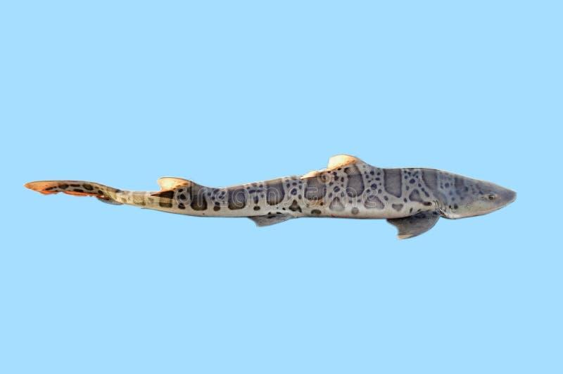 lepoard rekin zdjęcie royalty free