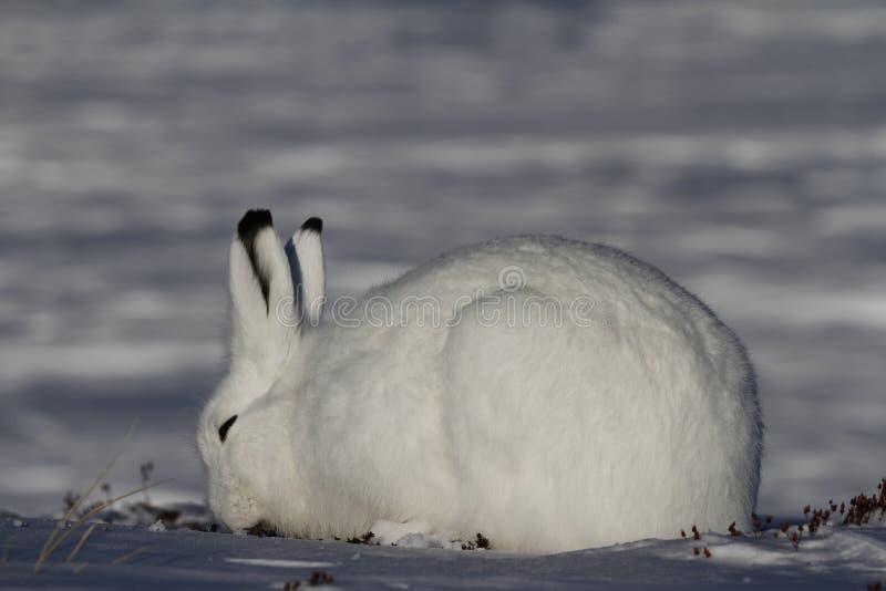 Lepre artica che pasce su una tundra nevosa fotografie stock libere da diritti