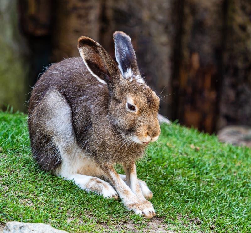 Lepre della montagna, timidus del Lepus, anche conosciuto come la lepre bianca fotografie stock libere da diritti
