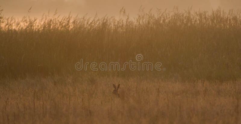 Lepre di Brown nell'alto primo mattino dell'erba fotografie stock libere da diritti