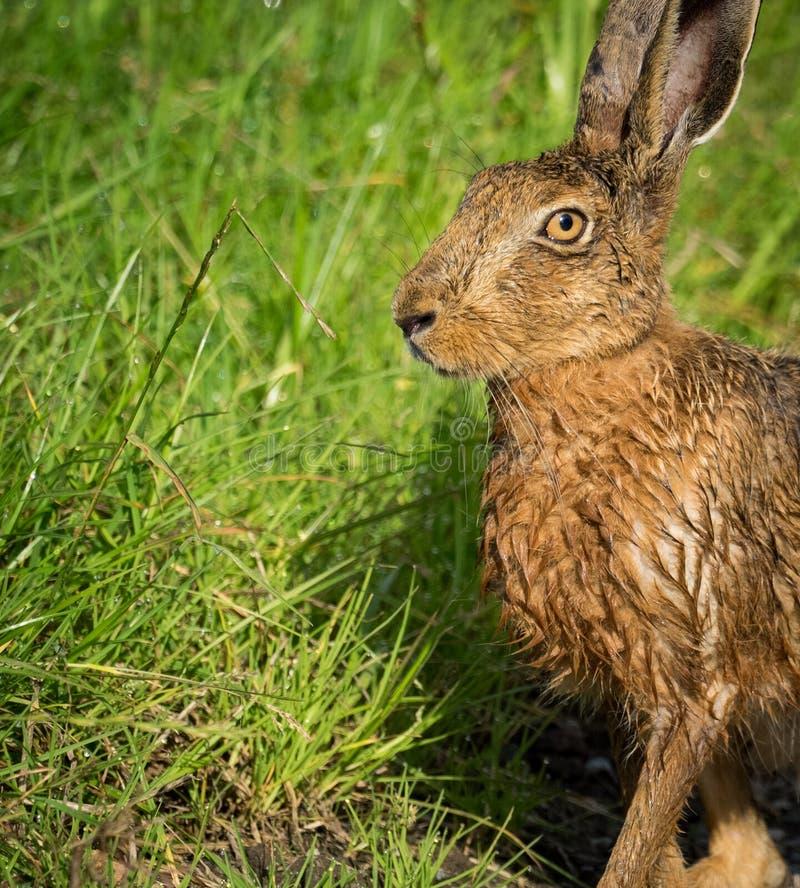 Lepre di Brown sul percorso in erba bagnata dal bagno nella pozza (europaeus del Lepus) immagine stock libera da diritti