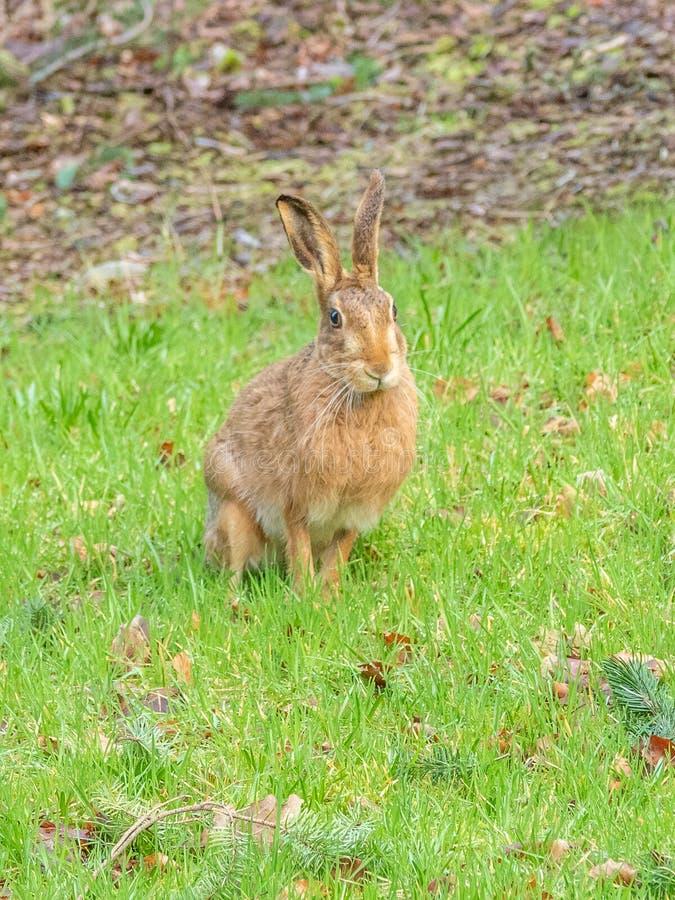 Lepre di marrone di Pasqua, europaeus del Lepus Peebles, Scozia fotografia stock libera da diritti