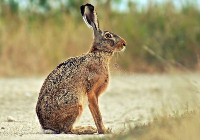 Lepre e fauna selvatica e coniglio immagini stock libere da diritti