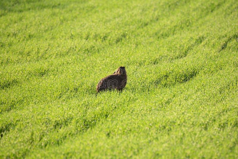 Lepre europea selvaggia ` s lo stesso Lepus Europaeus, sedentesi sui precedenti dell'erba verde della primavera sotto The Sun Eur fotografia stock libera da diritti