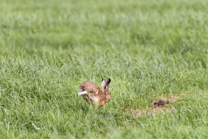 Lepre nel pascolo nella primavera fotografia stock libera da diritti