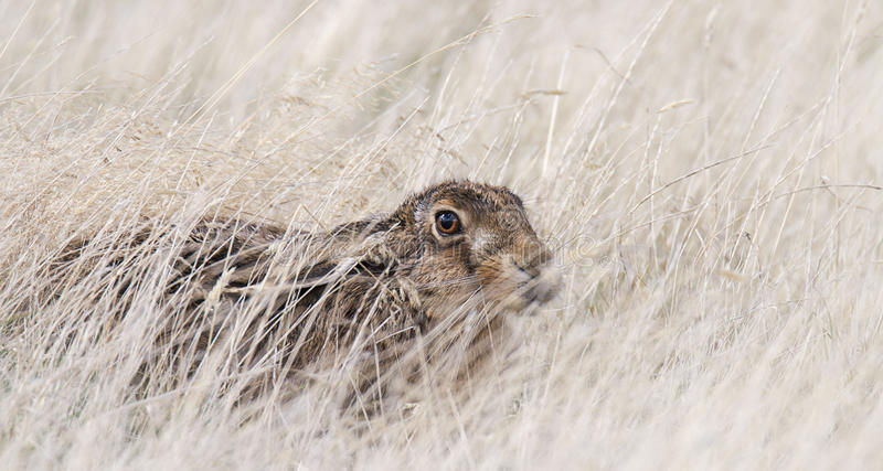 Lepre selvaggia che si nasconde nell'erba lunga Genere Lepus fotografie stock