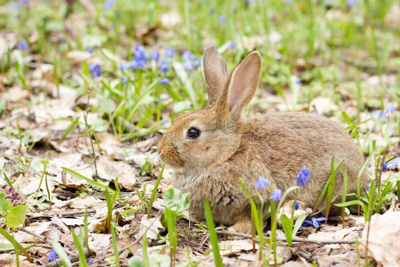 Lepre selvaggia su un prato di fioritura in primavera Coniglietto di pasqua nella foresta di fioritura immagini stock libere da diritti