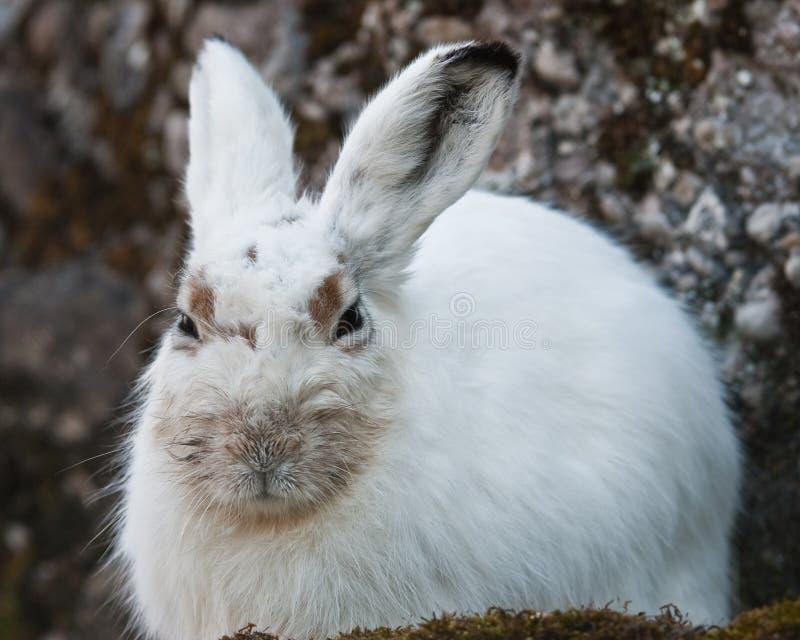 Lepri bianche della montagna fotografie stock libere da diritti