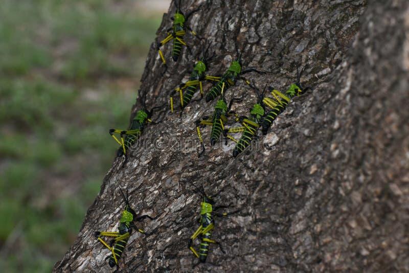Leprosus verde de Phymateus del enjambre de la langosta del Milkweed que escala un árbol fotografía de archivo