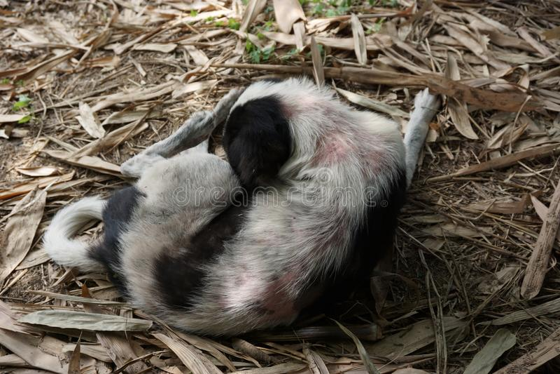 Leprosy στο σκυλί στοκ φωτογραφία