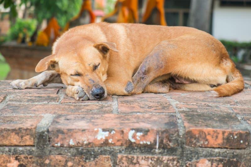 Leprosy dog sleeping royalty free stock image