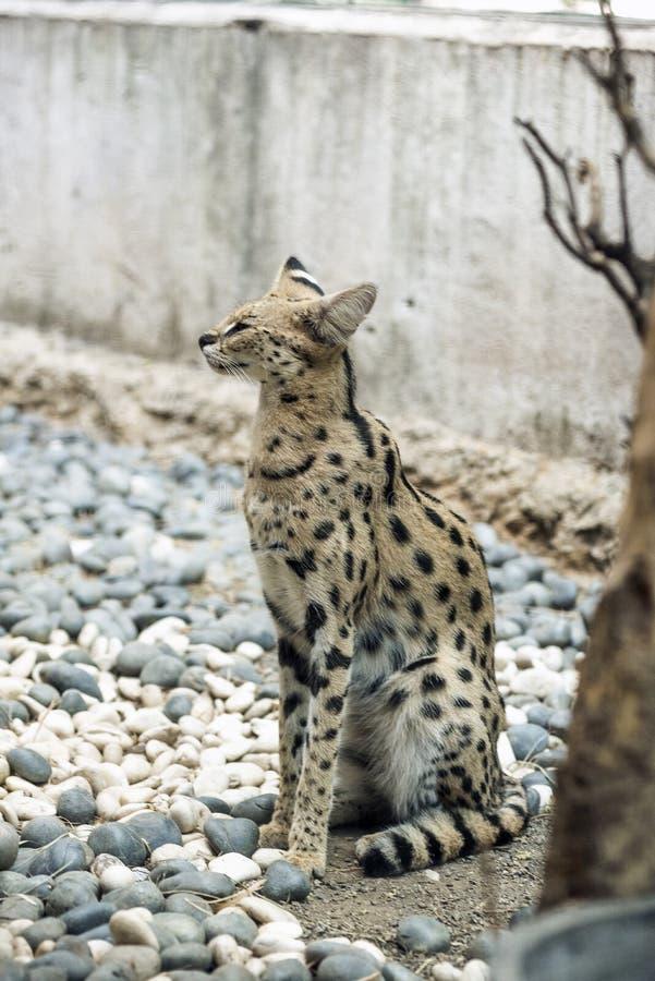Leptailurus Serval è un gatto selvatico africano fotografie stock libere da diritti