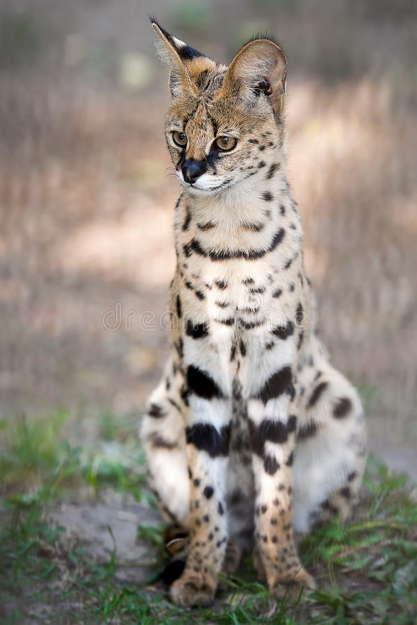 Leptailurus serval. A portrait of a serval  sitting in the green grass. Wild cat native to Africa. Black dotted beige brown big. Wild cat. Blurry  background stock image