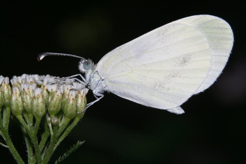 Leptidea Sinapis stockbild