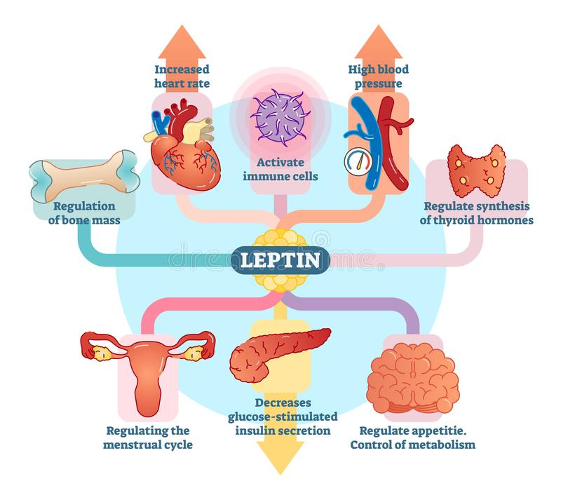 Leptin hormone role in schematic vector illustration diagram. Educational medical information. stock illustration