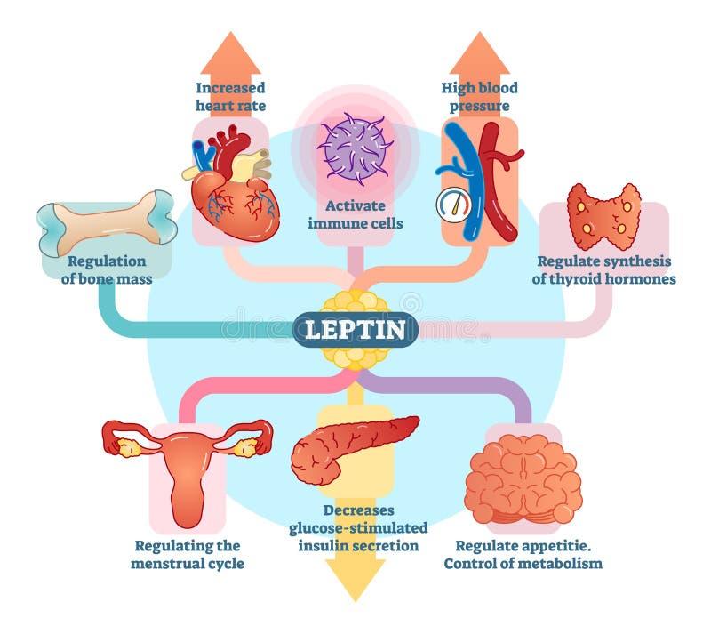 Leptin hormonu rola w schematycznym wektorowym ilustracyjnym diagramie Edukacyjna medyczna informacja ilustracji