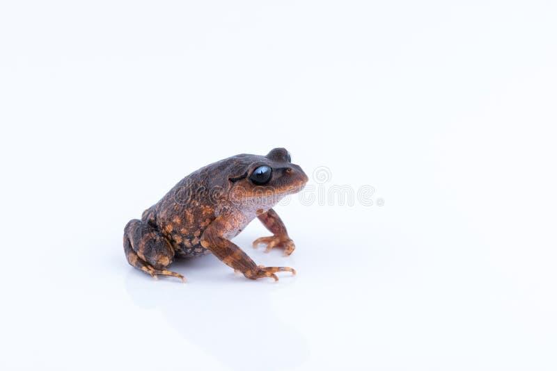 Leptobrachium chapaense White-eyed Litter Frog : frog on white. Background. Amphibian of Thailand royalty free stock image