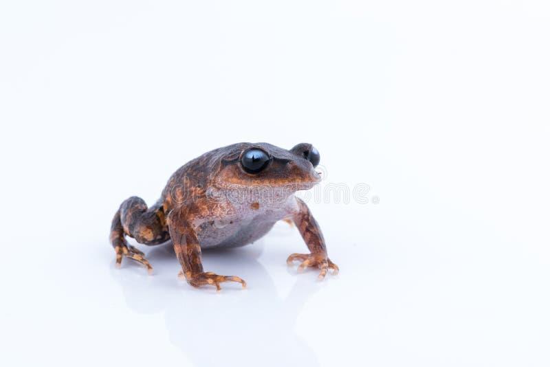 Leptobrachium chapaense White-eyed Litter Frog : frog on white. Background. Amphibian of Thailand royalty free stock images