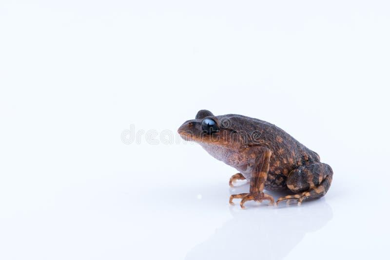 Leptobrachium chapaense White-eyed Litter Frog : frog on white. Background. Amphibian of Thailand stock image
