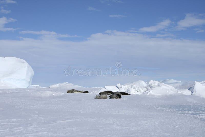 Leptonychotes Fok Weddell Weddellii Zdjęcie Stock
