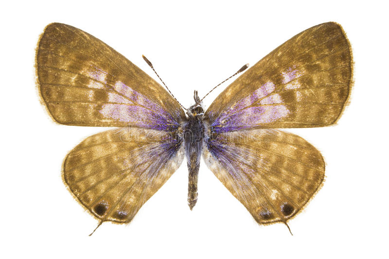Leptotes pirithous (Lang's Short-tailed Blue) stock photo