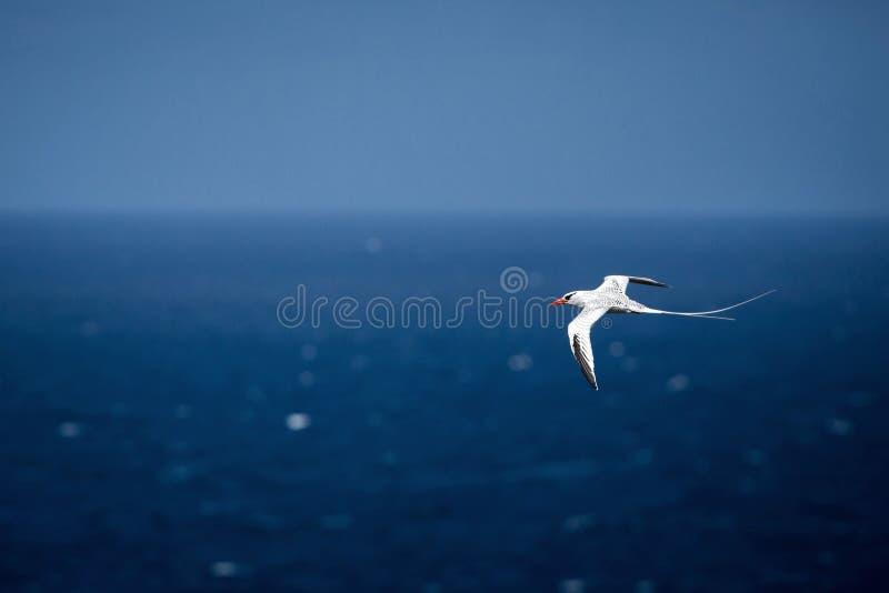 Lepturus dal becco giallo del Phaethon di Tropicbird che sorvola l'oceano Pacifico vicino alle isole Galapagos, bello uccello bia immagini stock libere da diritti