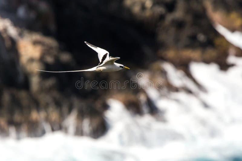 Lepturus dal becco giallo del Phaethon di Tropicbird che sorvola l'oceano Pacifico vicino alle isole Galapagos, bello uccello bia immagine stock libera da diritti