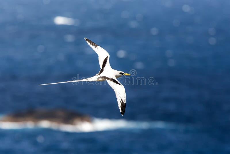 Lepturus dal becco giallo del Phaethon di Tropicbird che sorvola l'oceano Pacifico vicino alle isole Galapagos, bello uccello bia fotografia stock libera da diritti
