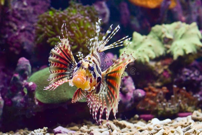 Lepu или рыба льва группа в составе ядовитый вид морских рыб принадлежа роду Pterois, Parapterois, Brachypterois, Ebosia стоковое изображение