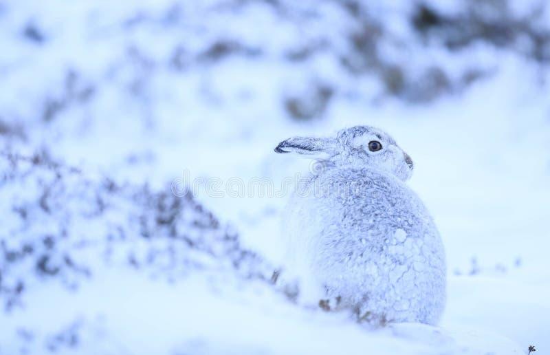 Lepus Timidus da lebre da montanha imagem de stock