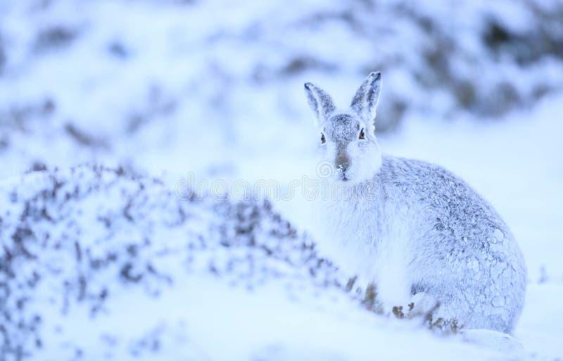 Lepus Timidus de lièvres de montagne photos stock