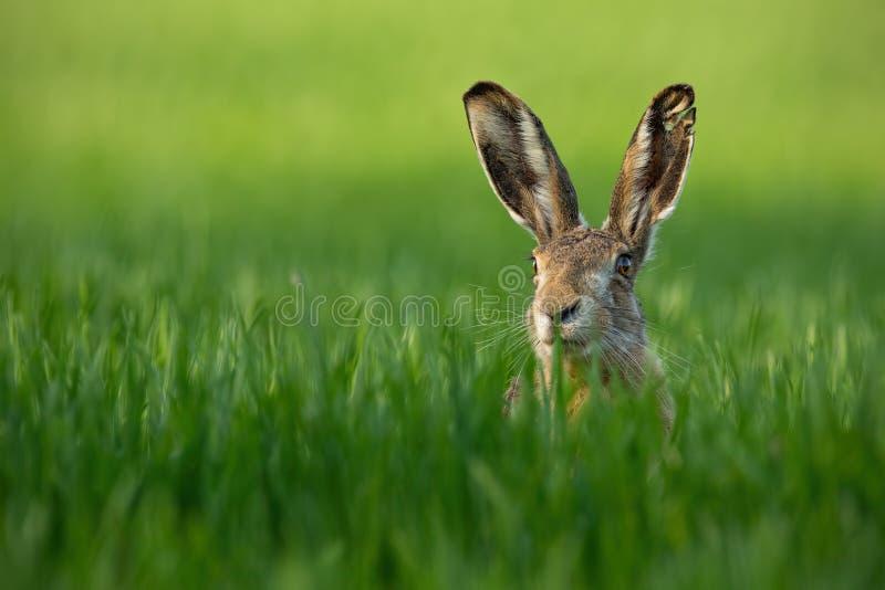 Lepus. Wild European Hare, Lepus Europaeus, Close-Up On Green Background. stock photo