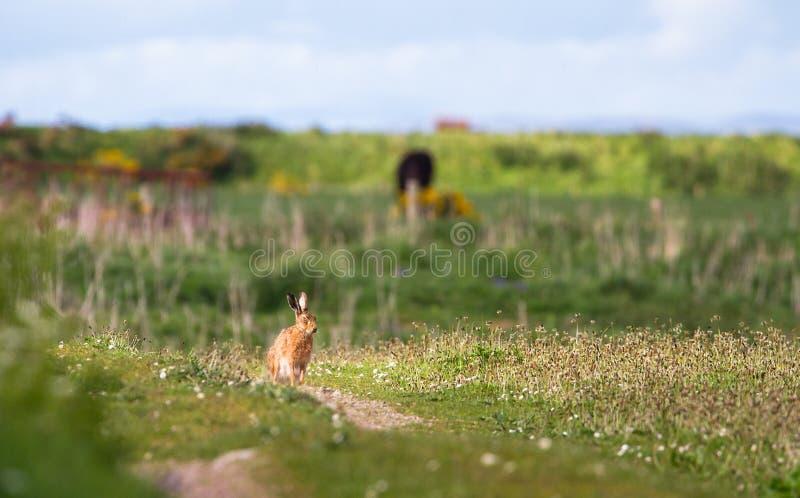 Lepuseuropaeus för europeisk hare i Skottland arkivfoto