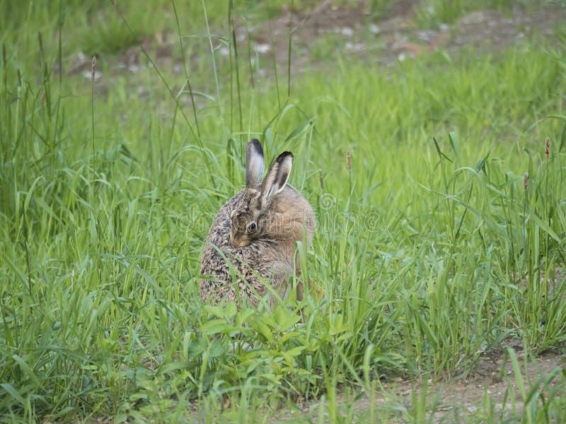 Lepuseuropaeus för europeisk hare, också som är bekant som den bruna haren som sitter i en gräsäng och gör ren hans päls selektiv royaltyfri foto
