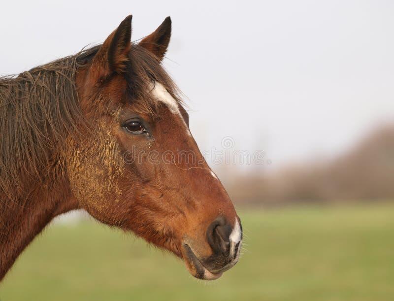 lerig häst royaltyfria foton