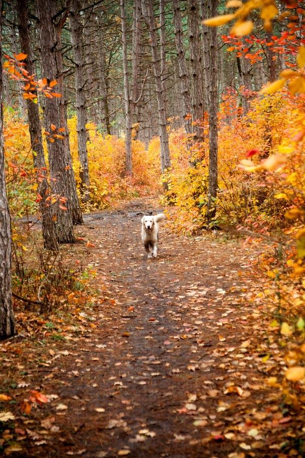 Lerig hund i höstnatur Smutsiga labrador retriever med pinnen i munnen som går på vandringsledet i skogen royaltyfri fotografi