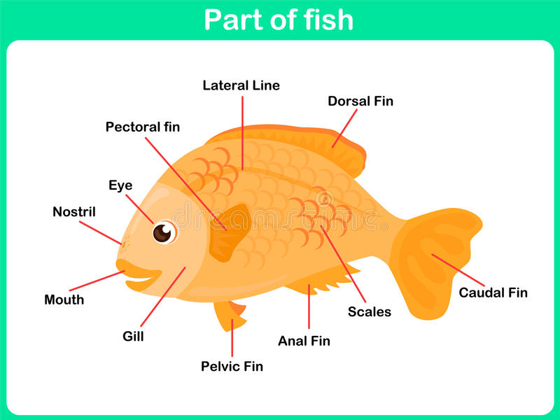 Lernen Teile Fische Für Kinder - Arbeitsblatt Vektor Abbildung ...