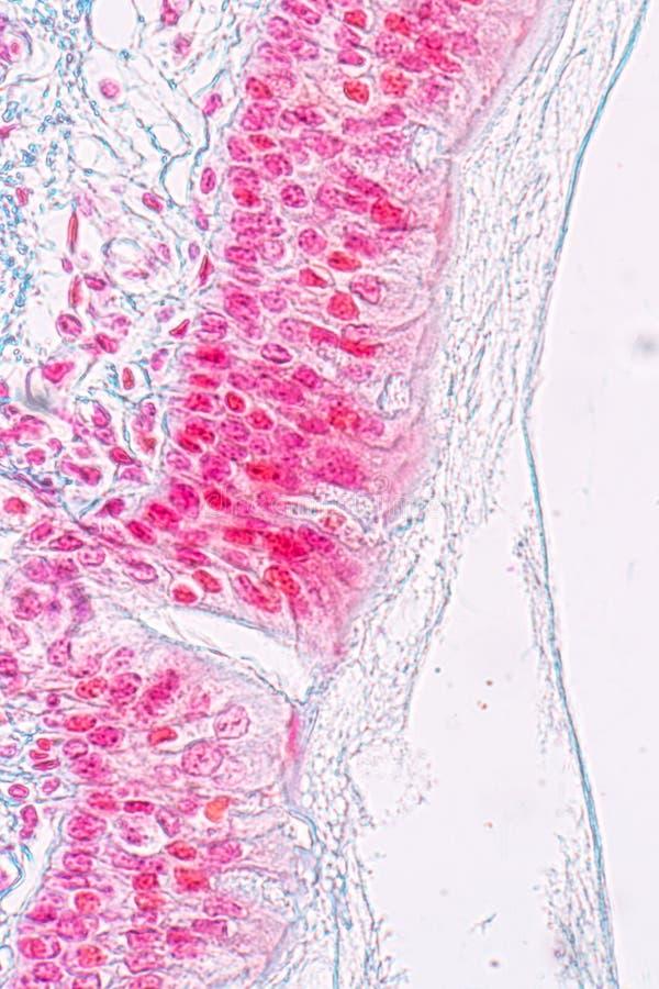 Lernen von Anatomie und von Physiologie von Säulen-epithellum Pseudostratified unter dem mikroskopischen lizenzfreie stockbilder