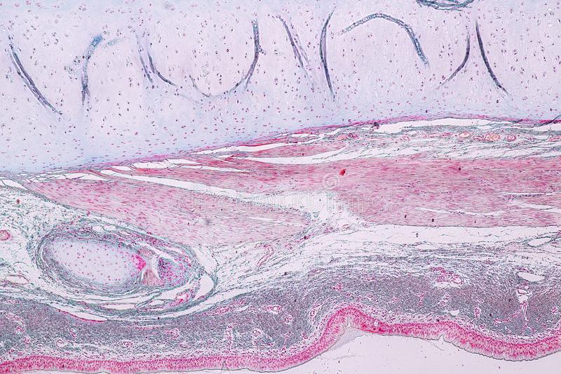 Lernen von Anatomie und von Physiologie von S?ulen-epithellum Pseudostratified unter dem mikroskopischen stockfoto