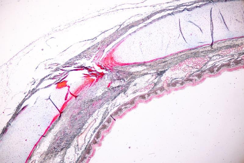 Lernen von Anatomie und von Physiologie von S?ulen-epithellum Pseudostratified unter dem mikroskopischen lizenzfreie stockfotografie