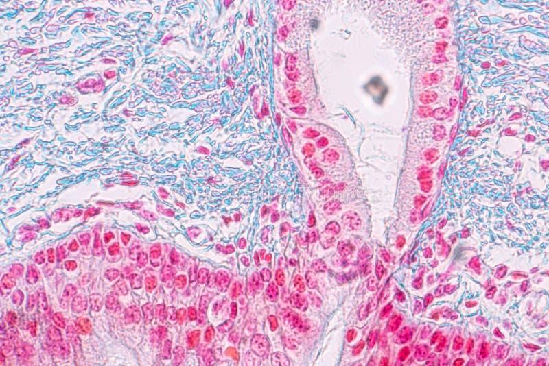 Lernen von Anatomie und von Physiologie von S?ulen-epithellum Pseudostratified unter dem mikroskopischen stockbild