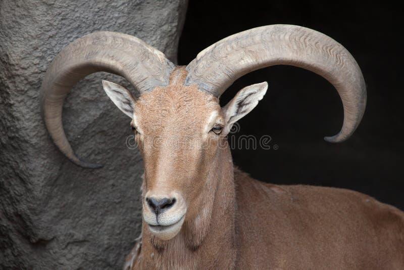 Lervia d'Ammotragus de moutons de Barbarie photographie stock